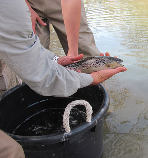 Brown trout coming back to texas north texas e news for Fish stocking texas